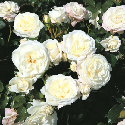 Роза Алабастер