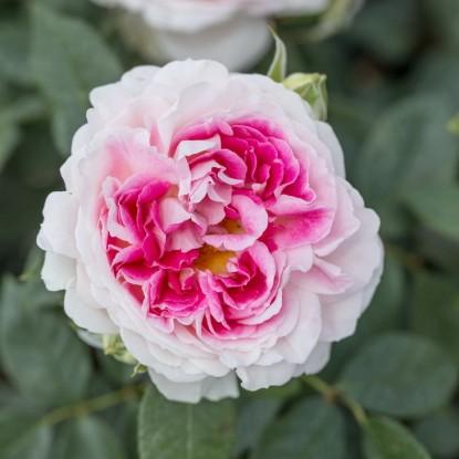 Роза Гернси