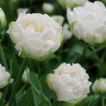 Тюльпан Мондиал 9 шт