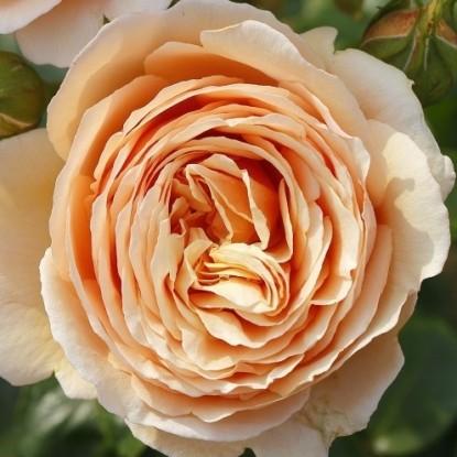 Роза Тропикана TANTAU