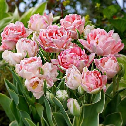 Тюльпан Аннелинде