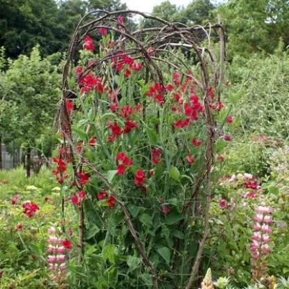 Горошек многолет Красный, Чина посевная декор.