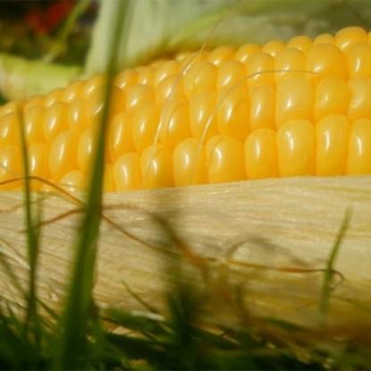Кукуруза Порумбень 199 СВ F1