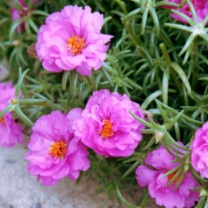Портулак Иллюзион розовый