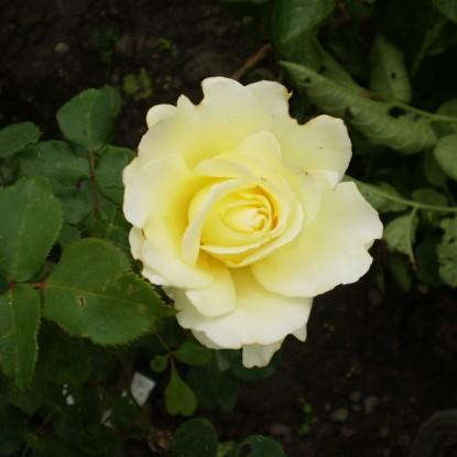 Роза Элина