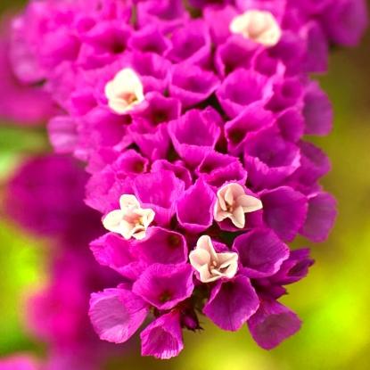 Лимониум Малиновое парфе (сер. Розовые сны)