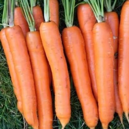 Морковь Нектар F1 столовая