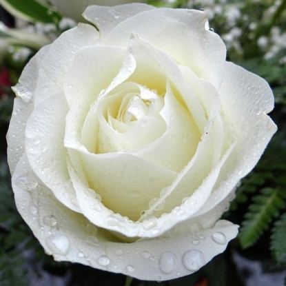 Роза Загадка (Чайно-гибридная, белая)