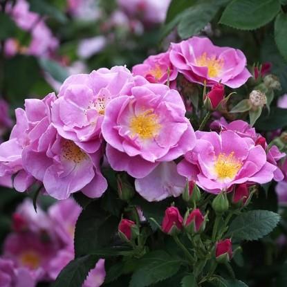 Роза Лаки FRYER