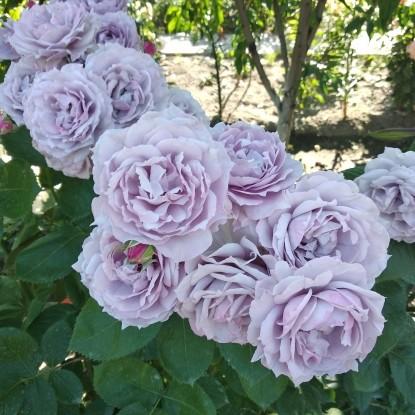 Роза Новалис KORDES
