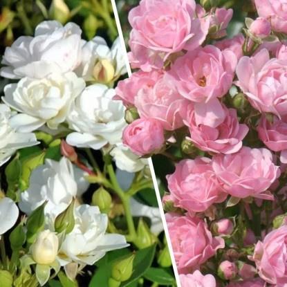Набор Ковер из роз