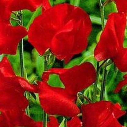 Душистый горошек Роял Фэмили, Красный (серия Сад ароматов)