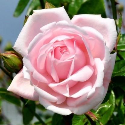 Роза Нью Даун BARNI
