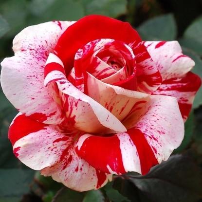 Роза Абракадабра KORDES