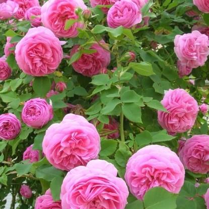 Роза Жак Картье HISTORICAL