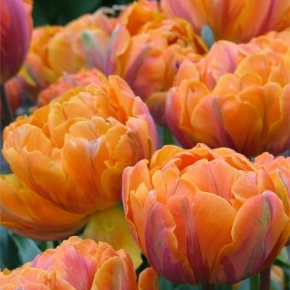 Тюльпан Оранж Принцесс