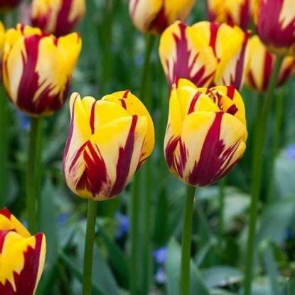 Тюльпан Хелмар 15 штук