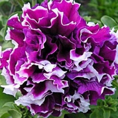 Петуния Пируэт фиолетовый с белым F1 махр. (сер. Элитная клумба)