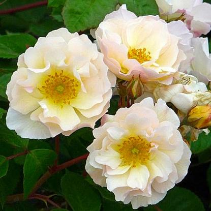 Роза Пенелопа