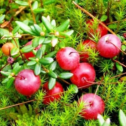 Клюква крупноплодная Рубиновая россыпь (семена)