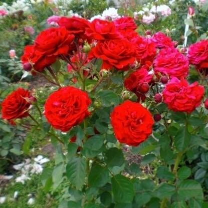 Роза Кронборг