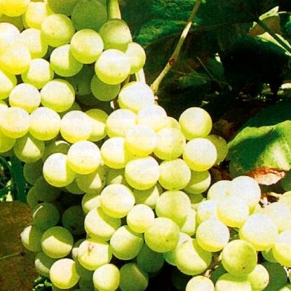 Виноград Онтарио