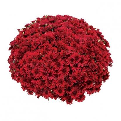 Хризантема Бода Ред