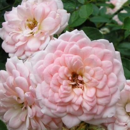 Роза Розето Карла Финески BARNI (2 сорт)