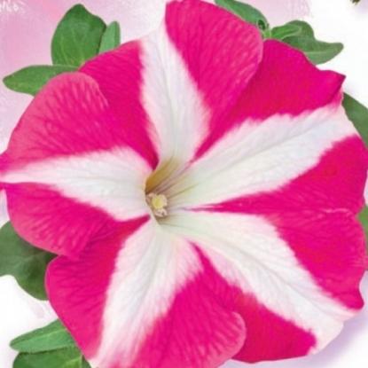 Петуния Джоконда, розовая с белым, мн. гранул. (серия Фарао)