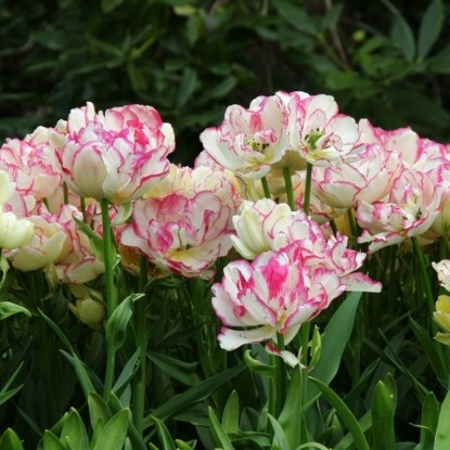 Тюльпан Белиция