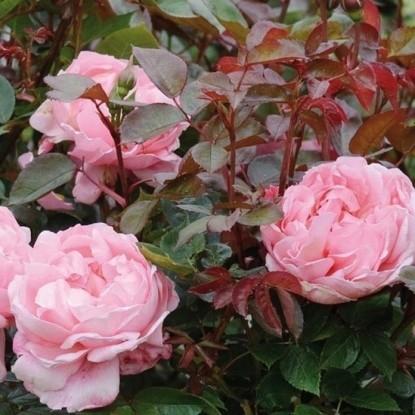 Роза Бразе Кадфаэл