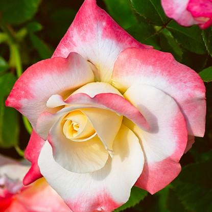 Роза Фиджи