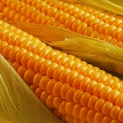 Кукуруза Лакомка Белогорья сахарная