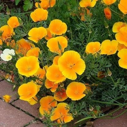 Эшшольция калифорнийская Оранжевый король