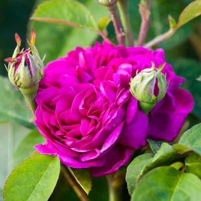 Роза Роуз де Решт HISTORICAL