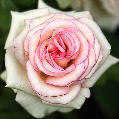 Роза Мунстоун штамбовая