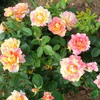 Роза Роуз дес Систерсинс