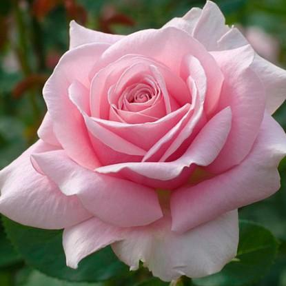 Роза Дезире