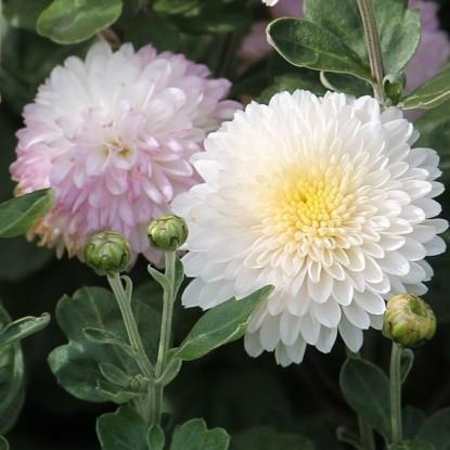 Хризантема Натали