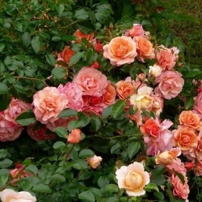 Роза Априкола KORDES