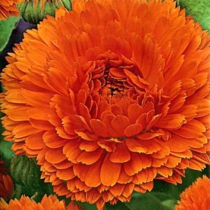Календула Оранжевый король