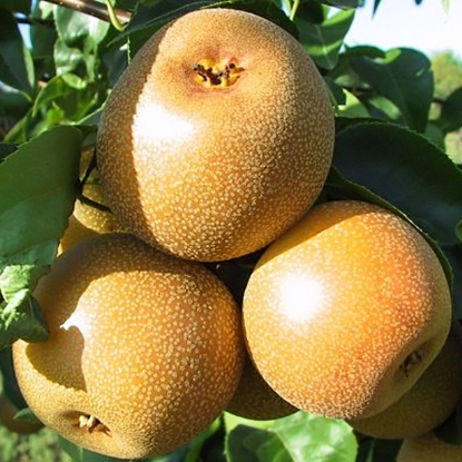 Яблоко-груша Косу