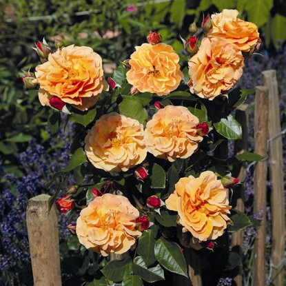 Роза Арабиа