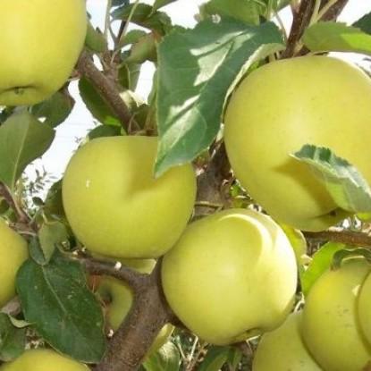 Яблоня Голден Делишес, двулетняя