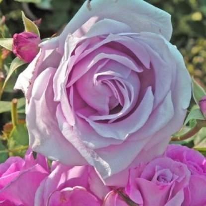 Роза Дольче Луна BARNI