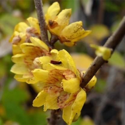Зимоцвет ранний Зоренька (Химонант) (семена)