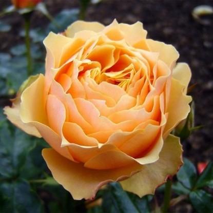 Роза Генриетта Барнетт HARKNESS