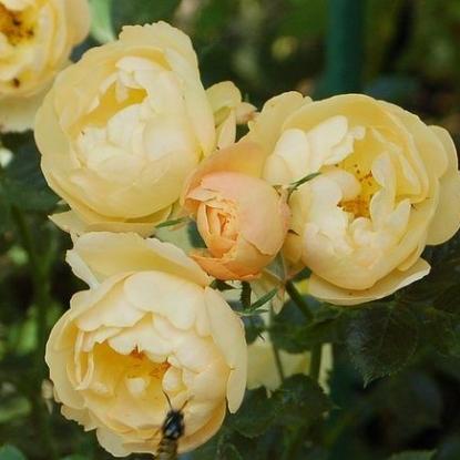 Роскошная роза Амбер Кавер