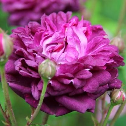 Роза Кардинал де Ришелье
