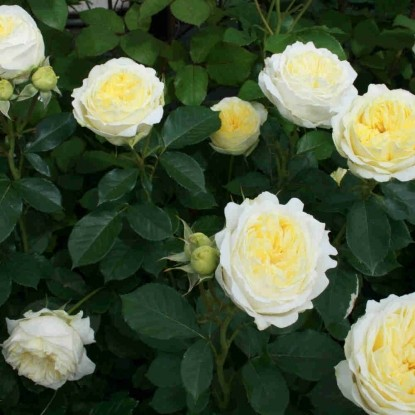 Роза Кронпринцесс Мэри
